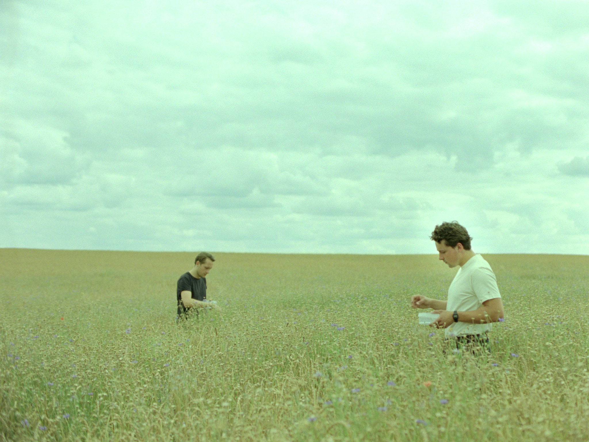 Two young men standing in a yellow wheat field foraging small purple flowers.